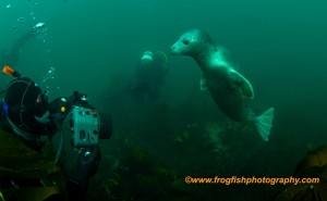 Seal diving at the Farnes