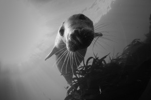 Seal Diving Farne Islands